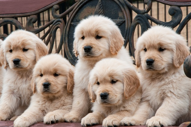 golden retriever texas texas golden retriever breeder puppies available spring 9780