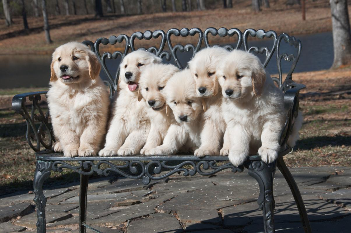 Texas Golden Retriever Breeder Puppies Available December 2018