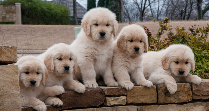 Golden retriever puppies near lubbock